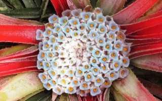 Фасикулярия – Fascicularia: фото, условия выращивания, уход и размножение