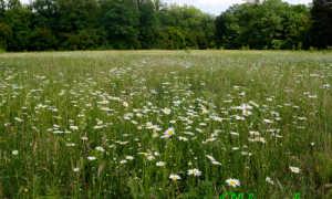 Нивяник обыкновенный: описание, сколько стеблей, где растёт и как выглядит
