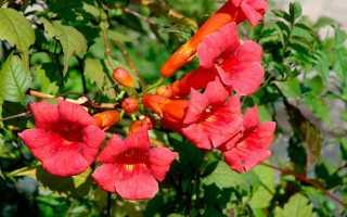 Цветок кампсис: посадка и уход в средней полосе