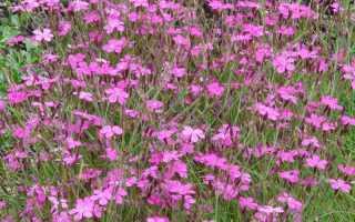 Гвоздика травянка: выращивание из семян, сорта