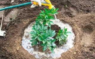 Пионы: чем подкормить осенью, виды удобрений и подкормок
