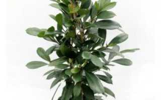 Фикус бокальчатоприлистниковый – Ficus cyathistipula: фото, условия выращивания, уход и размножение