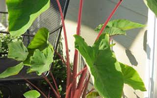 Алоказия: уход в домашних условиях, размножение, что делать если желтеют листья