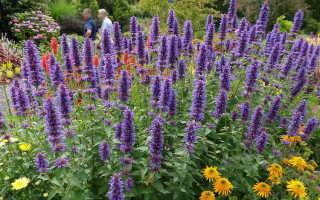 Многоколосник: фото цветка, выращивание из семян