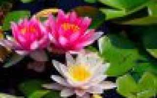 Белая кувшинка или водяная лилия: как выглядит, как размножается, где растёт