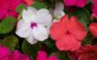 Бальзамин садовый: выращивание из семян в домашних условиях, посадка и уход