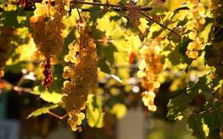 Виноград в башкирии уход осенью