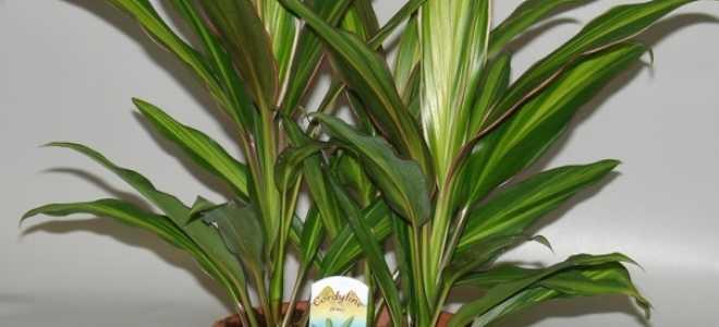 Кордилина: уход в домашних условиях, размножение, родина растения