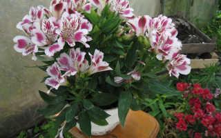 Цветок альстромерия: посадка и уход, выращвание из семян в домашних условиях