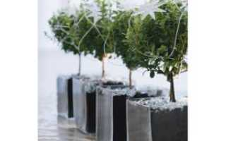 Мирсина – Myrsine: фото, условия выращивания, уход и размножение