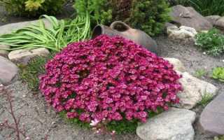 Камнеломка Арендса: выращивание из семян, описание, посадка и уход