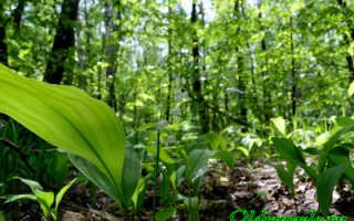 Ландыш: описание растения, как выглядит, где растёт, какое соцветие