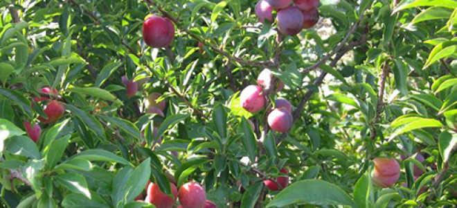 Слива маньчжурская красавица: описание, сорта, фото, отзывы