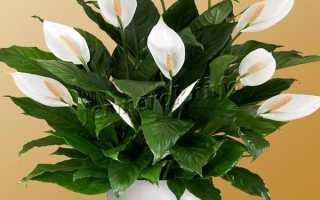 Цветок женское счастье или спатифиллум: родина растения, как выглядит