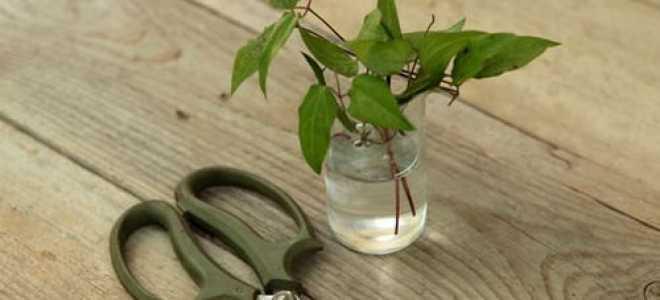 Княжик Сесиль, описание сорта, особенности выращивания