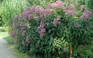 Евпаториум – Eupatorium: фото, условия выращивания, уход и размножение