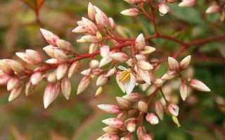 Дайнанте: виды, описание, посадка и уход, размножение, фото