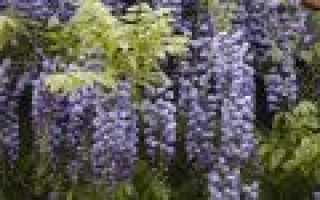 Глициния: правильное выращивание и уход в Подмосковье, посадка