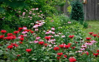 Монарда: посадка и уход в открытом грунте, выращивание из семян