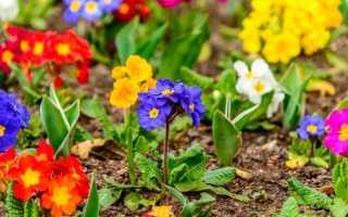 Садовая многолетняя примула: посадка и уход в открытом грунте
