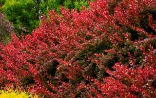 Барбарис красиво сочетается с другими кустарниками в разные времена года