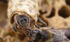 Размножение пчёл