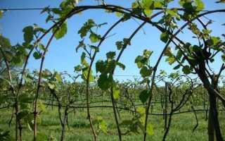 Уход за виноградом осенью на дальнем востоке