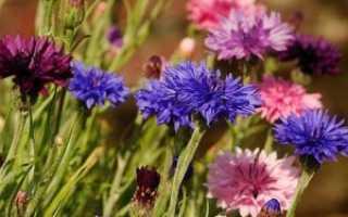Василек: выращивание, как выглядит, посадка и уход за цветком