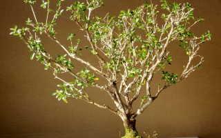 Серисса – Serissa: фото, условия выращивания, уход и размножение