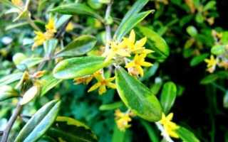 Корокия – Corokia: фото, условия выращивания, уход и размножение
