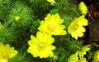 Цветок адонис летний: посадка и уход, выращивание из семян