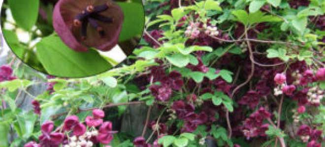 Акебия или шоколадная лиана Выращивание и уход на даче и дома Зимостойкость и подготовка к зиме