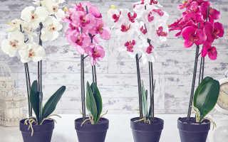 Орхидея: как пересадить, можно ли пересаживать цветущую, когда можно