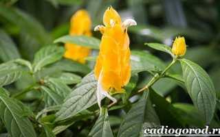 Пахистахис: уход в домашних условиях, красный цветок, описание сортов