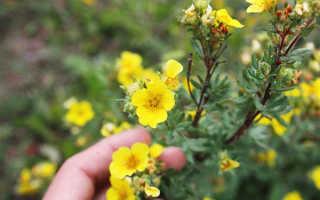 Лапчатка кустарникова: уход и выращивание, посадка в открытом грунте