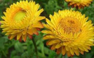 Бессмертник: лечебные свойства и противопоказания цветка