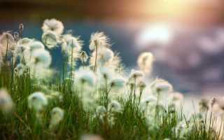 Пушица – виды и описание растения