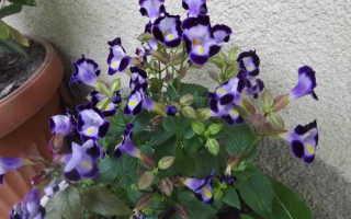 Торения: выращивание из семян в домашних условиях, посадка и уход