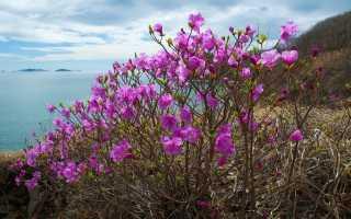 Рододендрон даурский или багульник: посадка и уход, удобрение и обрезка