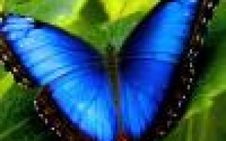 Цикламен персидский: уход в домашних условиях, пересадка, полив, подкормка