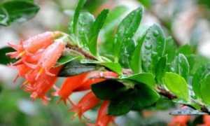 Агапетес – Agapetes: фото, условия выращивания, уход и размножение