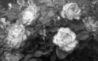 Розы флорибунда: сорта, фото, описание