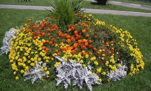 Цинерария приморская: посадка и уход в открытом грунте, выращивание из семян