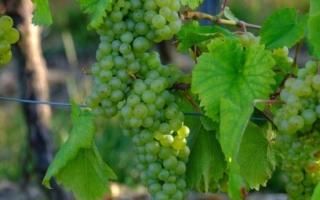 Виноград перерос шпалеру