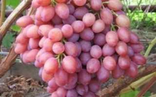 Лучшая тройка сортов винограда Крайнова
