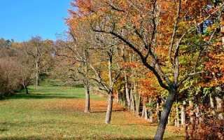 Уход за стелющейся яблоней осенью