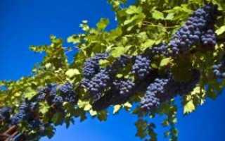 Еще раз о прививке винограда