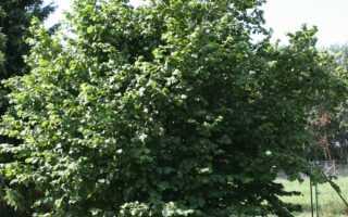 Лещина маньчжурская: описание посадка и уход, фото