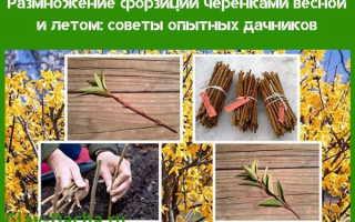 Форзиция: посадка и уход в открытом грунте, размножение черенками
