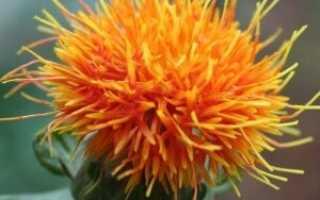 Технология выращивания сафлора – норма высева, медонос, видео